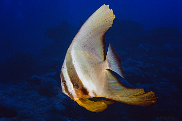 Longfin Batfish (Platax teira), Reunion Island, Indian Ocean