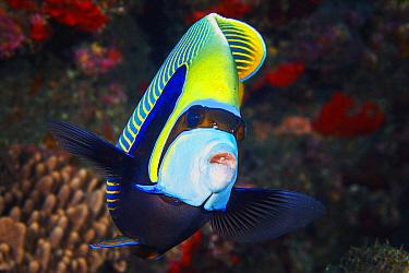 Emperor Angelfish (Pomacanthus imperator), Reunion Island, Indian Ocean