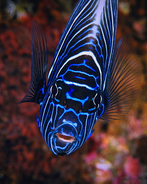 Emperor Angelfish (Pomacanthus imperator) juvenile, Reunion Island, Indian Ocean