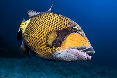Titan Triggerfish (Balistoides viridescens), Reunion Island, Indian Ocean