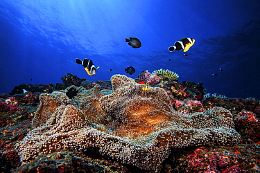 Mauritian Anemonefish (Amphiprion chrysogaster) pair and sea anemone, Reunion Island, Indian Ocean