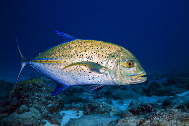 Bluefin Trevally (Caranx melampygus), Reunion Island, Indian Ocean