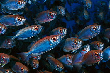 Crescent-tail Bigeye (Priacanthus hamrur) school, Reunion Island, Indian Ocean