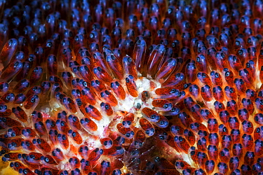 Mauritian Anemonefish (Amphiprion chrysogaster) eggs in late stage of development, Reunion Island, Indian Ocean