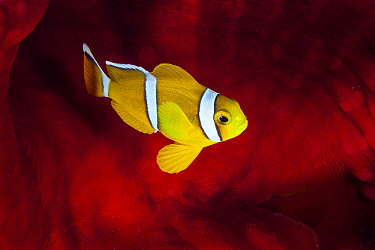 Mauritian Anemonefish (Amphiprion chrysogaster) in sea anemone, Reunion Island, Indian Ocean