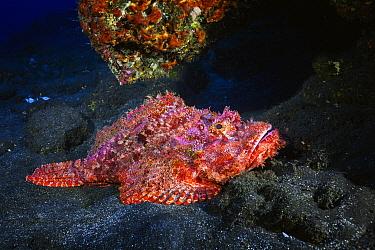 Tassled Scorpionfish (Scorpaenopsis oxycephala), Reunion Island, Indian Ocean