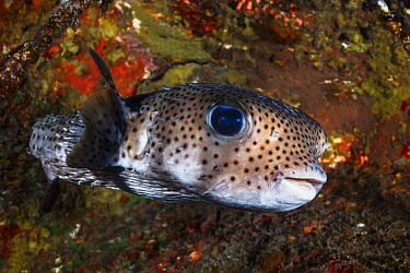 Long-spine Porcupinefish (Diodon holocanthus), Reunion Island, Indian Ocean
