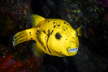 Guineafowl Pufferfish (Arothron meleagris), Reunion Island, Indian Ocean