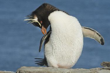 Rockhopper Penguin (Eudyptes chrysocome) preening, Falkland Islands