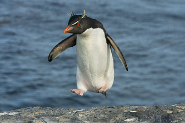 Rockhopper Penguin (Eudyptes chrysocome) hopping up shore, Falkland Islands