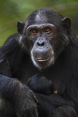 Eastern Chimpanzee (Pan troglodytes schweinfurthii) mother, twenty-three years old, holding less than one day old newborn, Gombe National Park, Tanzania