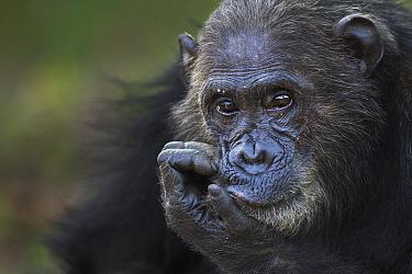 Eastern Chimpanzee (Pan troglodytes schweinfurthii) male, thirty-six years old, Gombe National Park, Tanzania