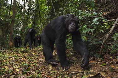 Eastern Chimpanzee (Pan troglodytes schweinfurthii) male, eighteen years old, followed by troop, Gombe National Park, Tanzania
