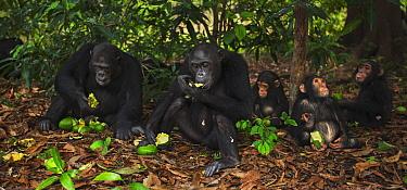 Eastern Chimpanzee (Pan troglodytes schweinfurthii) group feeding on mango fruit, Gombe National Park, Tanzania