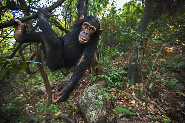 Eastern Chimpanzee (Pan troglodytes schweinfurthii) young female, five years old, swinging in tree, Gombe National Park, Tanzania