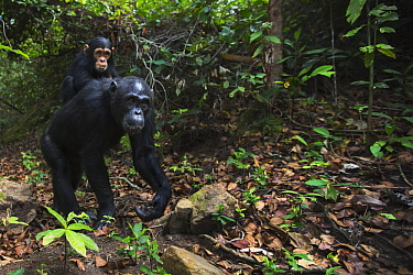 Eastern Chimpanzee (Pan troglodytes schweinfurthii) mother, thirty-one years old, carrying two year old son, Gombe National Park, Tanzania