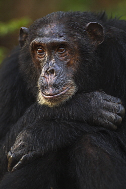 Eastern Chimpanzee (Pan troglodytes schweinfurthii) male, fourty-one years old, Gombe National Park, Tanzania