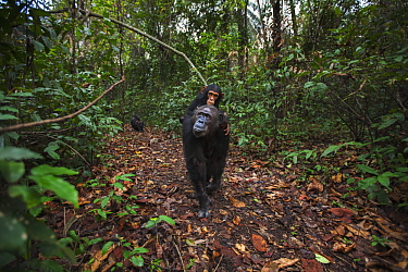Eastern Chimpanzee (Pan troglodytes schweinfurthii) mother, fourty-one years old, carrying three year old son, Gombe National Park, Tanzania