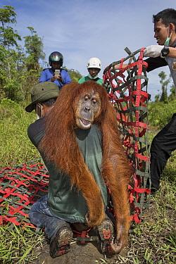 Sumatran Orangutan (Pongo abelii) female being rescued from clearcut forest area by the Human Orangutan Conflict Response Unit, Sumatra, Indonesia