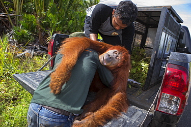 Sumatran Orangutan (Pongo abelii) female being rescued from clearcut forest area by the Human Orangutan Conflict Response Unit, Sumatra, Indonesia