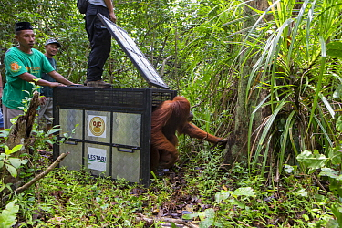 Sumatran Orangutan (Pongo abelii) female being released after being rescued from clearcut forest area by the Human Orangutan Conflict Response Unit, Gunung Leuser National Park, Sumatra, Indonesia