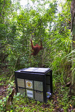 Sumatran Orangutan (Pongo abelii) female climbing trees after being rescued from clearcut forest area by the Human Orangutan Conflict Response Unit, Gunung Leuser National Park, Sumatra, Indonesia