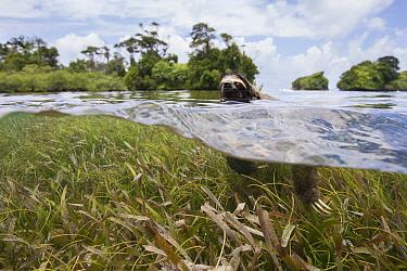 Pygmy Three-toed Sloth (Bradypus pygmaeus) swimming in mangrove forest, Isla Escudo de Veraguas, Panama