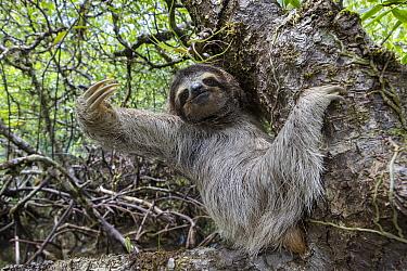 Pygmy Three-toed Sloth (Bradypus pygmaeus), Isla Escudo de Veraguas, Panama