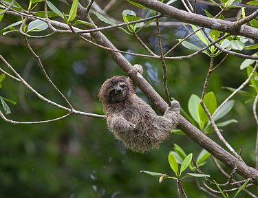 Pygmy Three-toed Sloth (Bradypus pygmaeus) four month old baby, Isla Escudo de Veraguas, Panama