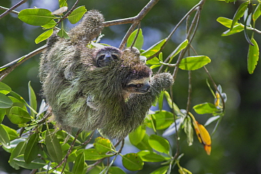 Pygmy Three-toed Sloth (Bradypus pygmaeus) mother and four month old young, Isla Escudo de Veraguas, Panama