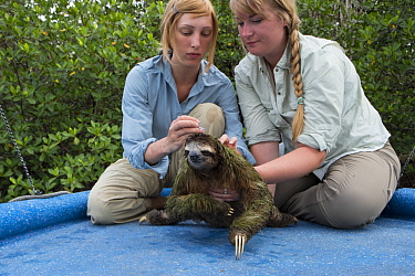 Pygmy Three-toed Sloth (Bradypus pygmaeus) biologist, Rebecca Cliffe, taking hair samples, Isla Escudo de Veraguas, Panama