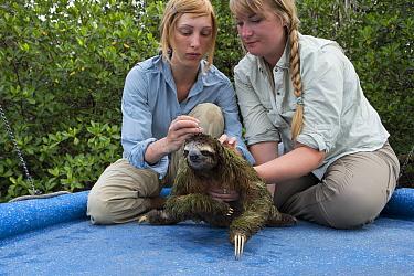 Pygmy Three-toed Sloth (Bradypus pygmaeus) biologist, Rebecca Cliffe, taking hair samples, Isla Escudo de Veraguas, Panama