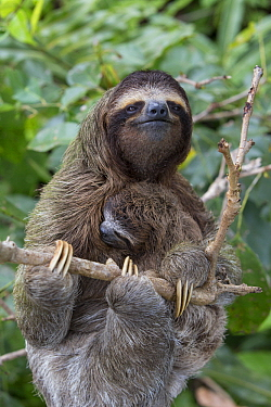 Pygmy Three-toed Sloth (Bradypus pygmaeus) mother and three month old young, Isla Escudo de Veraguas, Panama