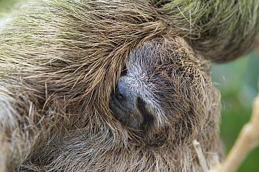 Pygmy Three-toed Sloth (Bradypus pygmaeus) mother and three month old young, Isla Escudo de Veraguas, Panama