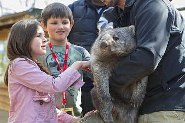 Common Wombat (Vombatus ursinus) orphan met by children, Bonorong Wildlife Sanctuary, Tasmania, Australia
