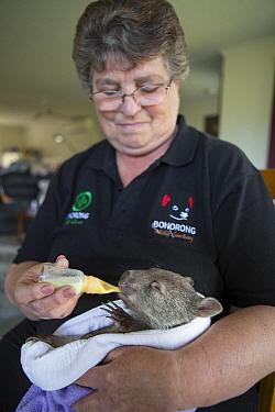 Common Wombat (Vombatus ursinus) foster mother, Linda Tabone, bottle feeding six month old orphaned joey, Bonorong Wildlife Sanctuary, Tasmania, Australia