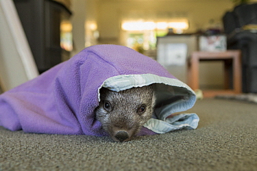 Common Wombat (Vombatus ursinus) seven month old orphaned joey in foster home, Bonorong Wildlife Sanctuary, Tasmania, Australia