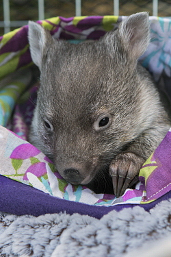 Common Wombat (Vombatus ursinus) five month old orphaned joey in pouch, Bonorong Wildlife Sanctuary, Tasmania, Australia