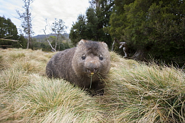 Common Wombat (Vombatus ursinus)feeding, Cradle Mountain-Lake Saint Clair National Park, Tasmania, Australia