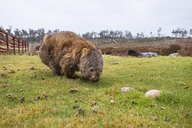 Common Wombat (Vombatus ursinus) with mange grazing on farm, Tasmania, Australia
