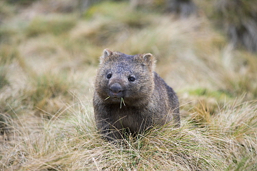 Common Wombat (Vombatus ursinus) grazing, Cradle Mountain-Lake Saint Clair National Park, Tasmania, Australia