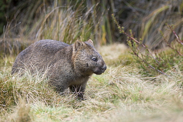 Common Wombat (Vombatus ursinus), Cradle Mountain-Lake Saint Clair National Park, Tasmania, Australia