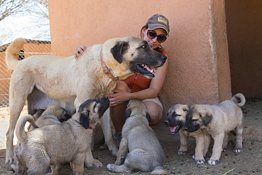 Anatolian Shepherd (Canis familiaris) mother and puppies, livestock guarding dogs bred to reduce human-predator conflict, with conservationist, Cheetah Conservation Fund, Namibia