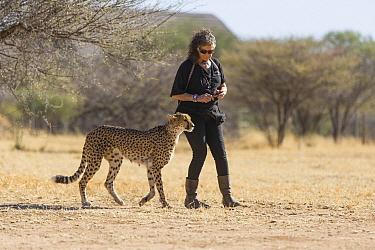 Cheetah (Acinonyx jubatus) conservationist, Laurie Marker, with rescued cheetah, Cheetah Conservation Fund, Namibia