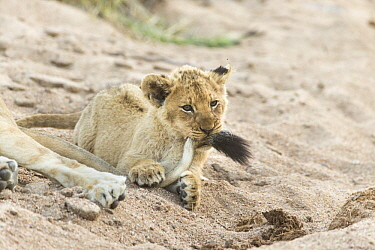 African Lion (Panthera leo) two month old cub playing with mother's tail, Sabi-sands Game Reserve, South Africa