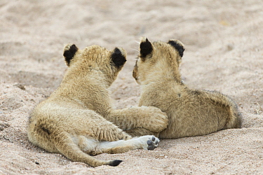 African Lion (Panthera leo) two month old cubs, Sabi-sands Game Reserve, South Africa