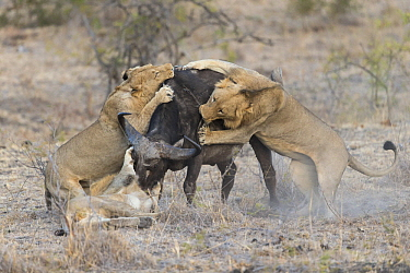 African Lion (Panthera leo) pride hunting Cape Buffalo (Syncerus caffer), Sabi-sands Game Reserve, South Africa. Sequence 3 of 6
