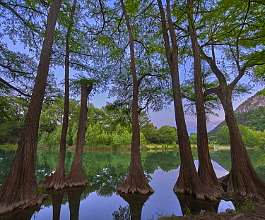 Bald Cypress (Taxodium distichum) trees in river, Frio River, Garner State Park, Texas