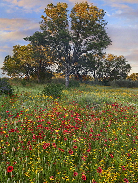 Oak (Quercus sp) tree and Indian Blanket (Gaillardia pulchella) flowers, Texas