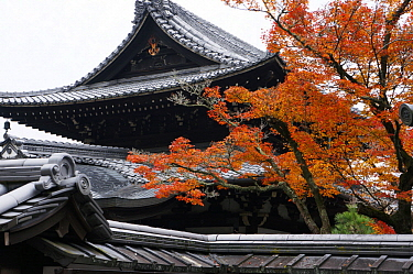 Japanese Maple (Acer palmatum) tree in fall at temple, Kyoto, Japan